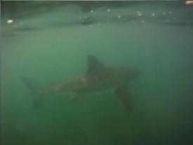 San Onofre Shark